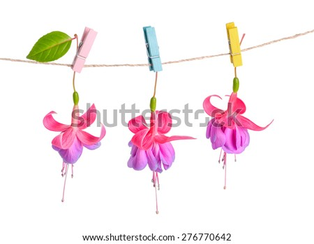fuchsia flowers handing on rope with colorful clothespin is isolated on white background, closeup  - stock photo