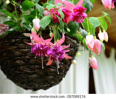 fuchsia flowers in a basket - stock photo