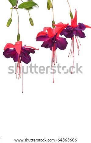 Fuchsia flowers isolated on white - stock photo