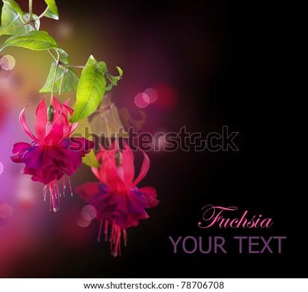 Fuchsia flowers over black - stock photo