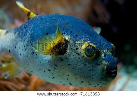 Fugu - stock photo