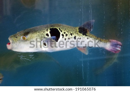 Fugu in a Fishtank outside an expensive restaurant in Japan.  - stock photo