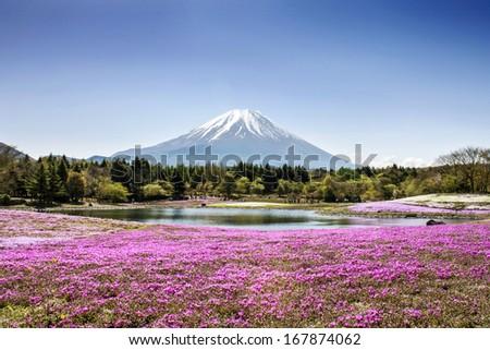Fuji mountain and pink moss phlox - stock photo