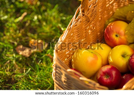 Full basket of red juicy organic apples with yellow leaves on autumn outdoors with soft sun backlit. Good harvest of apples in fall. Thanksgiving holiday concept.