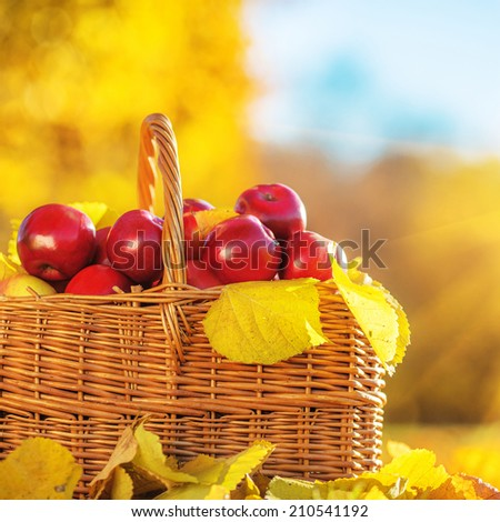 Full basket of red juicy organic apples with yellow leaves on autumn outdoors with soft sun backlit. Good harvest of apples in fall. - stock photo