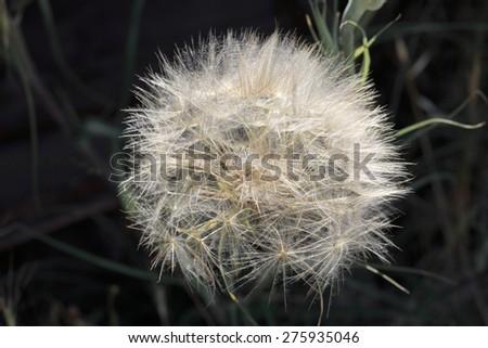 Full big ripe blowball on dark background - stock photo