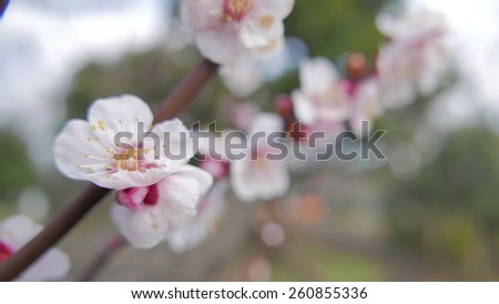 Full bloom of plum is very beautiful. - stock photo