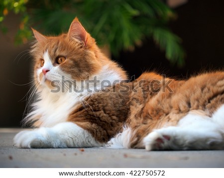 Full Body Color Portrait of Exotic Beautiful Long Hair Bi Color Orange White Traditional Doll Face Persian Cat Laying Outside on Concrete - stock photo