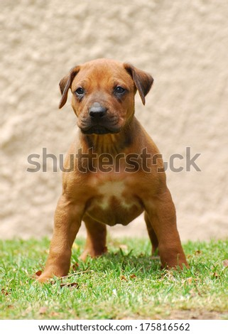 Full body front view of a standing Rhodesian Ridgeback puppy with alert facial expression. - stock photo