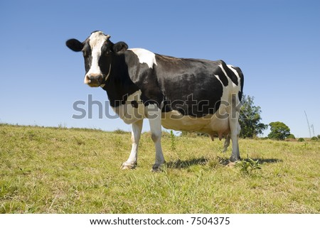 Full body image of a pregnant cow in green pasture and blue sky.
