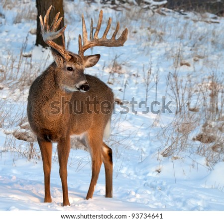Full body image of a trophy whitetail buck in morning sun.  Winter in Wisconsin. - stock photo