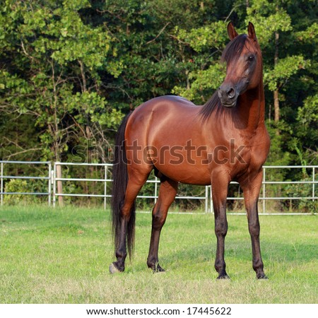 Full body image of Arabian stallion standing in field - stock photo