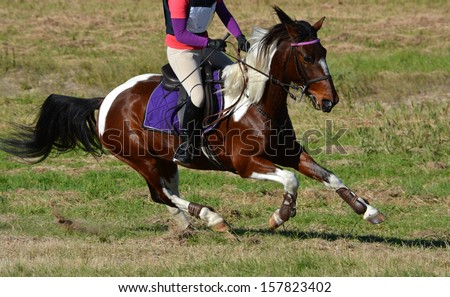 Full body of a brow and white horse galloping on a cross country course during an eventing weekend. - stock photo