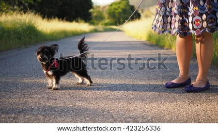 Full Body portrait of small Adorable Yorkshire Terrier Toy Breed Dog with Owner Standing Near while taking a walk during golden Hour - stock photo