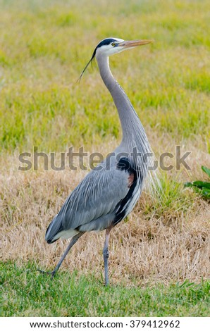 Full body shot of a great blue heron at the Golden Gate National Recreation Area in San Francisco, California
