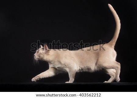 Full body shot of pedigree cat isolated on black background indoors in studio.