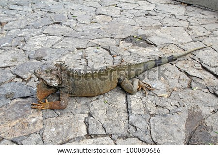 Full-body view of a land iguana (Iguana iguana) on a walkway in Bolivar Park in front of the Metropolitan cathedral near the center of downtown Guayaquil, Ecuador
