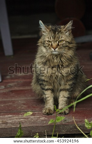 full face of angry siberian tomcat with brilliance green on hurted ear