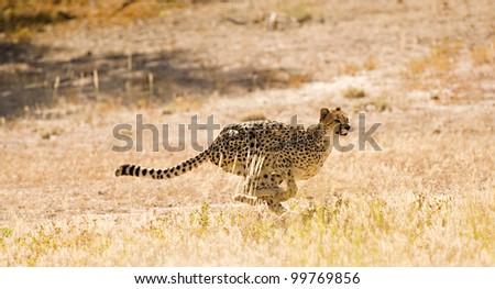 Full Flight Cheetah - stock photo