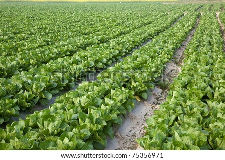 full frame background of fresh Chinese cabbage at spring in Fujian,China - stock photo