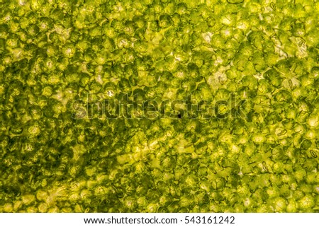 full frame micrography showing the surface of a basil leaf