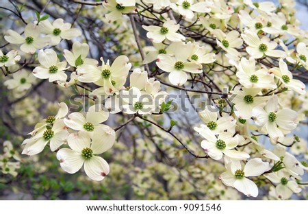 full frame of dogwood blooms - stock photo