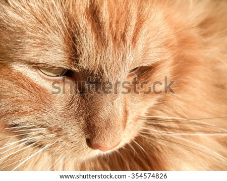 full frame portrait of a red Maine Coon cat