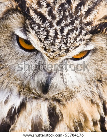 Full frontal close up of eagle owl