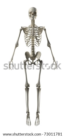 Full Frontal Skeleton - stock photo