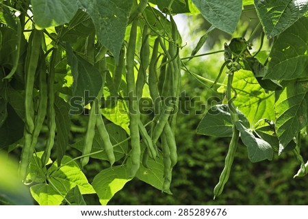 Full grown climbing french beans (Phaseolus vulgaris), up to 25 cm, ready for harvest. The Neckarkonigin is a well known variety, climbing in a beanstalks construction.  Photo taken in August 2014. - stock photo
