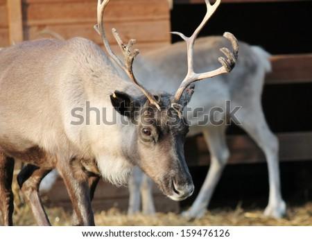 full grown shaggy Reindeer with peeling shedding velvet on antlers - stock photo
