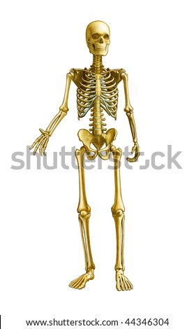 Full human skeleton, front view. Digital illustration, clipping path included. - stock photo