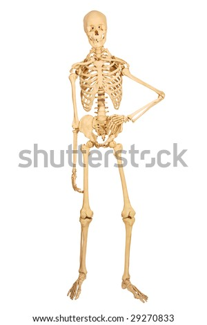 human skeleton stock images, royalty-free images & vectors, Skeleton