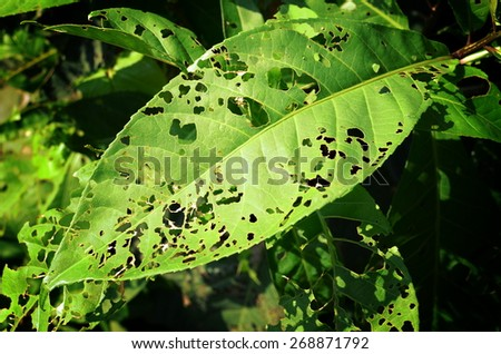 Full Leaf with Holes, Eaten by Pests.  - stock photo