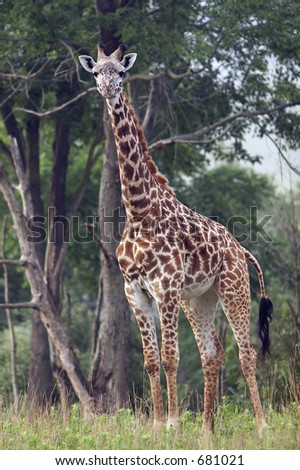 Full length body picture of a giraffe with trees in the background - stock photo