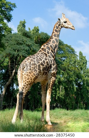 Full length body picture of a giraffe with trees in the background, India