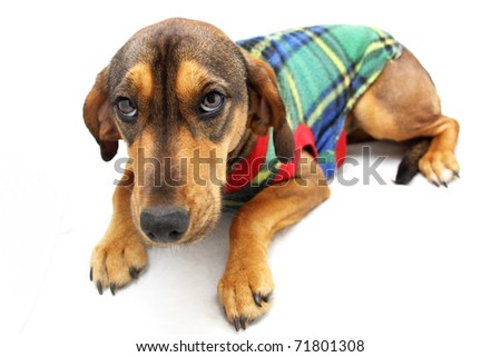 Full length brown dog wearing colorful jersey - stock photo