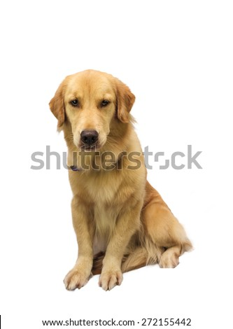full length golden retriever isolated in white background with clipping path - stock photo