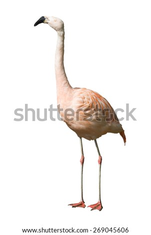 Full Length of Chilean flamingo. Isolated over white background - stock photo