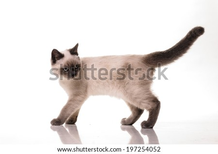 Full length portrait of a playfull British Shorthair cat isolated on a white background. - stock photo