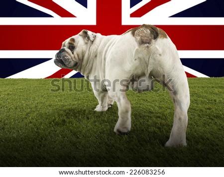 Full length rear view of British Bulldog walking towards Union Jack - stock photo