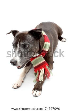 Full length Staffordshire Terrier cross breed - stock photo