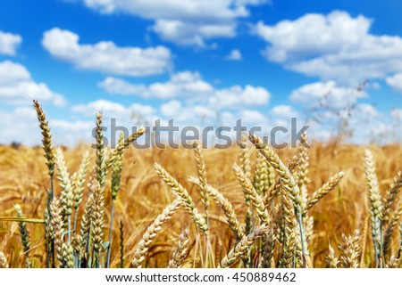 full of ripe grains, golden ears of wheat or rye close up on a blurred blue sky background.  Rich harvest Concept. Rural landscape under shining sunlight. small depth of field