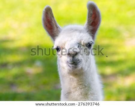 Full white llama (Lama glama) baby head - stock photo