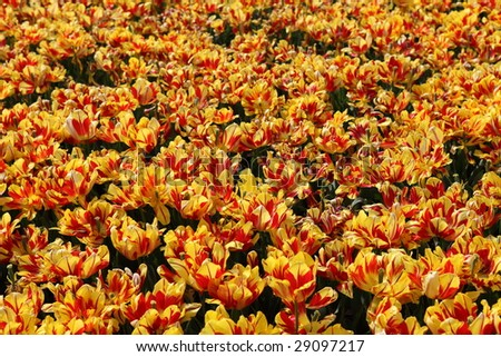 Fully Blooming Tulips