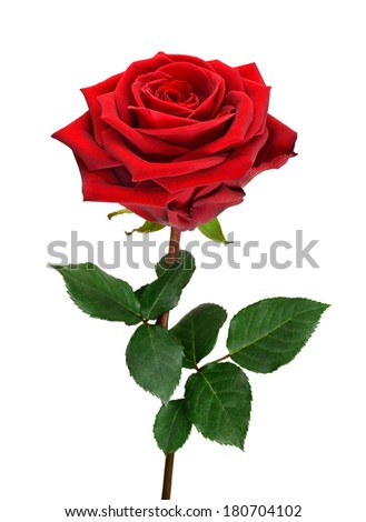 Fully blossomed, perfect red rose with stem and leaves on pure white background - stock photo