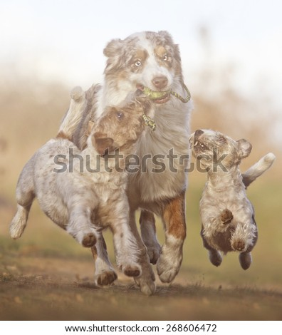 fun australian shepherd dog ( border collie ) running with Parson Russell Terrier and jack russell terrier puppy - stock photo