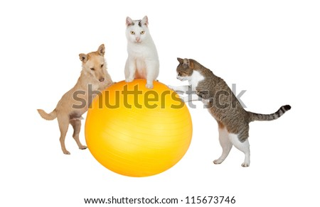 Fun conceptual image of three family pets, a jack russell terrier and two cats, working out in the gym doing balancing and stretching exercises with a pilates ball isolated on white - stock photo