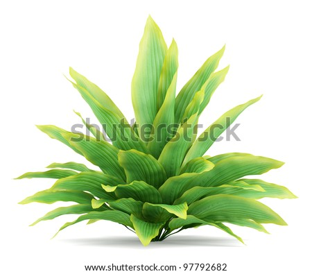 funkia bush isolated on white background - stock photo