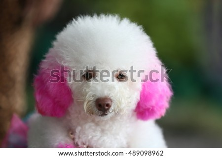 Funky Poodle white dog portrait looking at you funky style hair